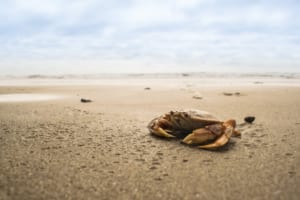 A Crab on the Beach, where you can go Crabbing in Oregon